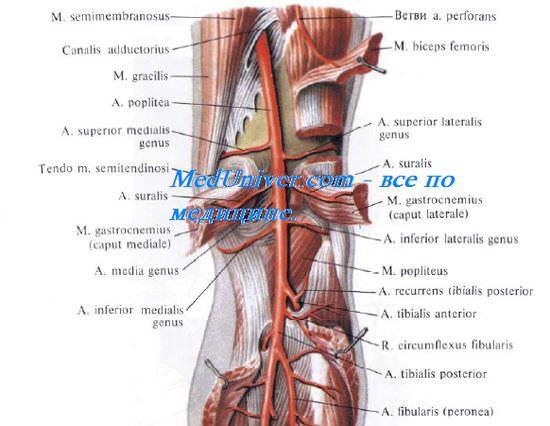 Задняя поверхность коленного сустава. Внешние ориентиры задней области коленного сустава. Границы задней поверхности коленного сустава
