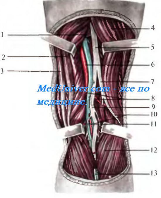 Топография общего малоберцового нерва. Топография подколенной вены. Топография подколенной артерии