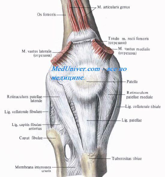 Анатомия связок коленного сустава