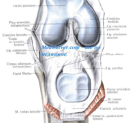 Синовиальная оболочка коленного сустава. Завороты коленного сустава. Завороты синовиальной оболочки коленного сустава