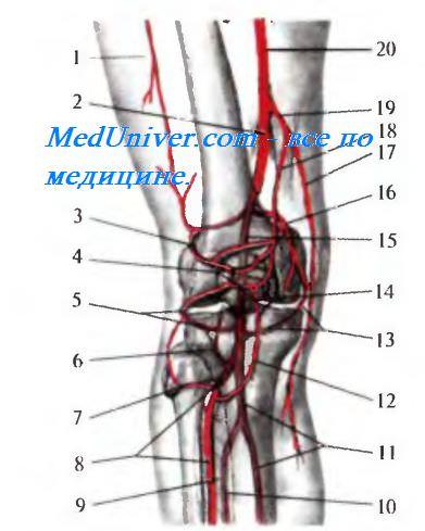 Завороты коленного сустава передний задний thumbnail