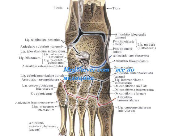 Изображение - Связки и сухожилия голеностопного сустава 171