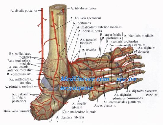 Анатомия артерий кровоснабжающих стопу