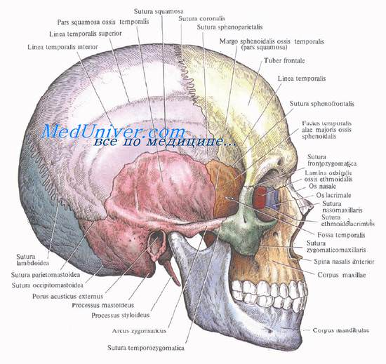 Проекция сосудов и нервов на