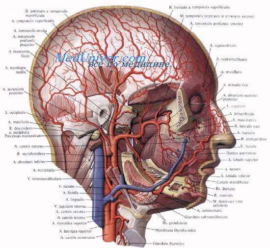 области головы. Нервы