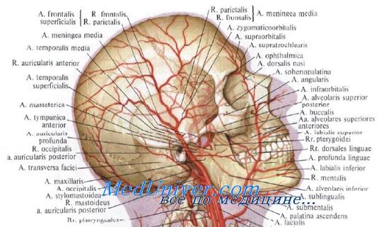 Кровоснабжение уха и наружного слухового прохода