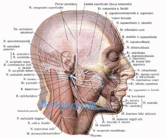 Височная область головы.