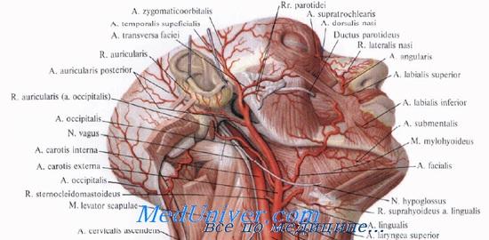 Нервы височной области головы.