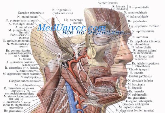 Сосуды и нервы подвисочной