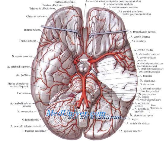 Топография позвоночной артерии. Виллизиев (Уиллиса) артериальный круг. Артериальный круг мозга. Виллизиев круг