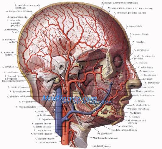 Кровоснабжение лица - артерии и вены