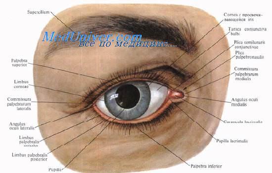 Анатомия век глаза