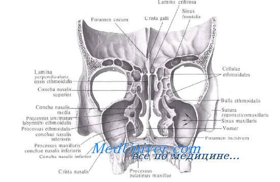 Анатомия и топография полости носа