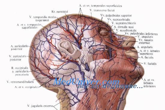 Кровоснабжение наружного уха ветвями височной артерии