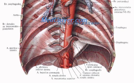 Анатомия диафрагмы вызывающей икоту