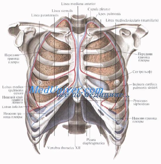 Межі легень. Зовнішні межі легень. Скелетотопія легких.