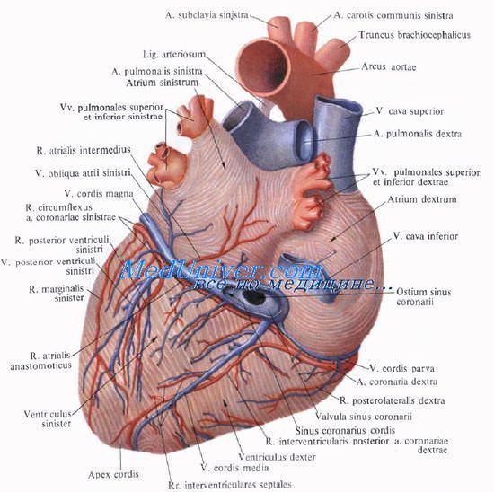 Правая венечная артерия. Правая коронарная артерия. Левая венечная ...