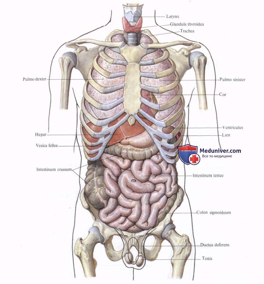 строение органов человека в картинках.