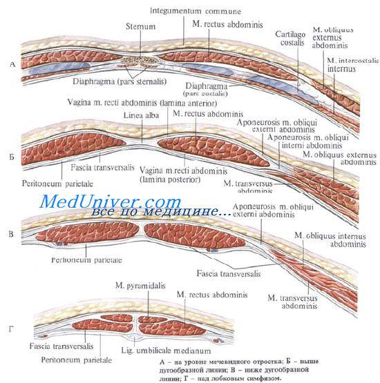 Мышцы сосуды и нервы живота thumbnail