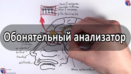 Видео анатомии проводящего пути обонятельного анализатора