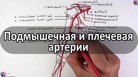 Видео анатомии подмышечной, плечевой артерий и их ветвей