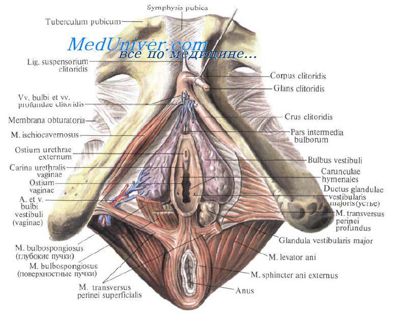Отверстие влагалища прикрыто у девственниц (virgo intacta) складкой