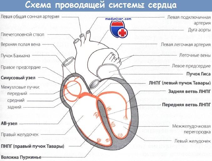Схема проводящей системы сердца