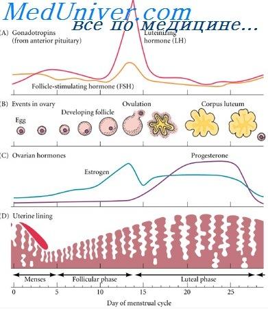 Глюкокортикостероиды обладают противозачаточным сустанон турецкий фэйк