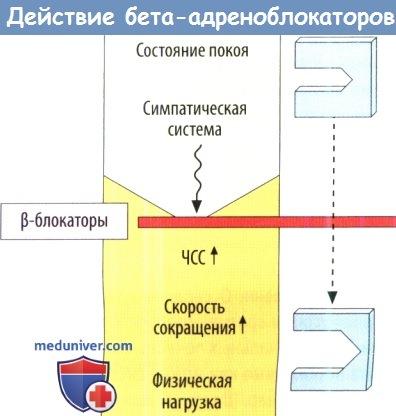 Действие бета-адреноблокаторов