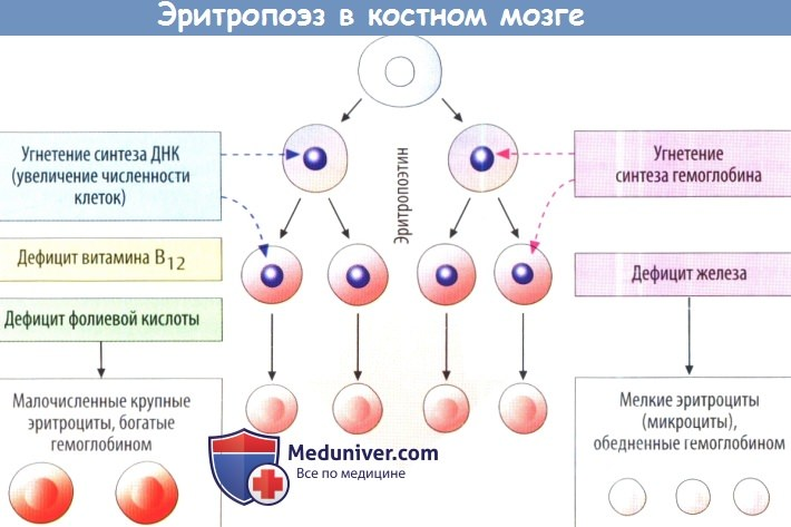 Роль витаминов в кроветворении. Витамин В12. Фолиевая кислота (витамин В9). Витамин В6 (пиридоксин).