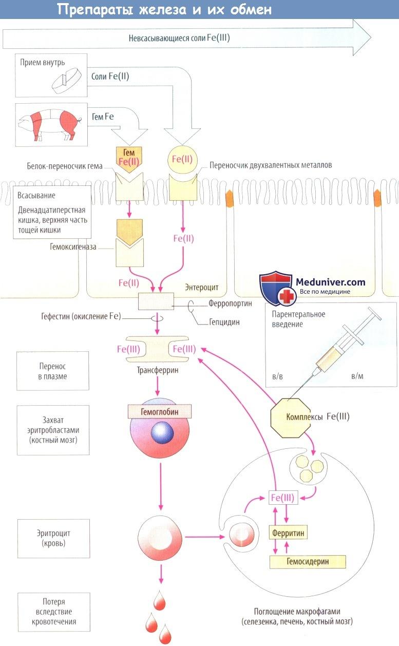 Препараты железа и их обмен