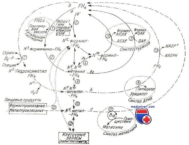 Обмен фолиевой кислоты