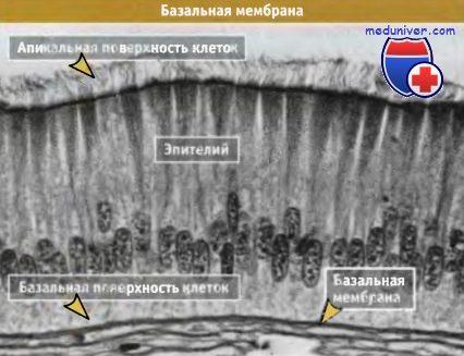 Строение базальной мембраны