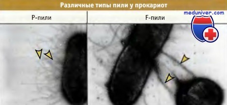 Пили необходимы бактериям для 7