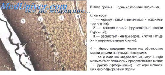 Гистология мозжечка в норме