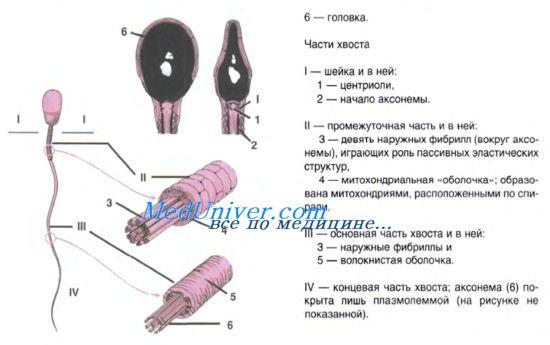 Зарисовка женских и мужских половых клеток с описанием их строения сперматогенеза и овогенеза