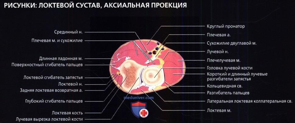 Лучевая анатомия локтевого сустава