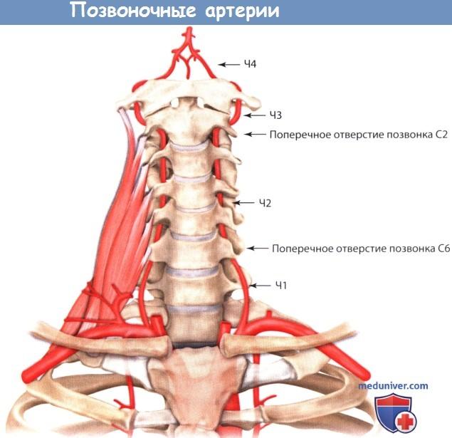 Анатомия позвоночных артерий