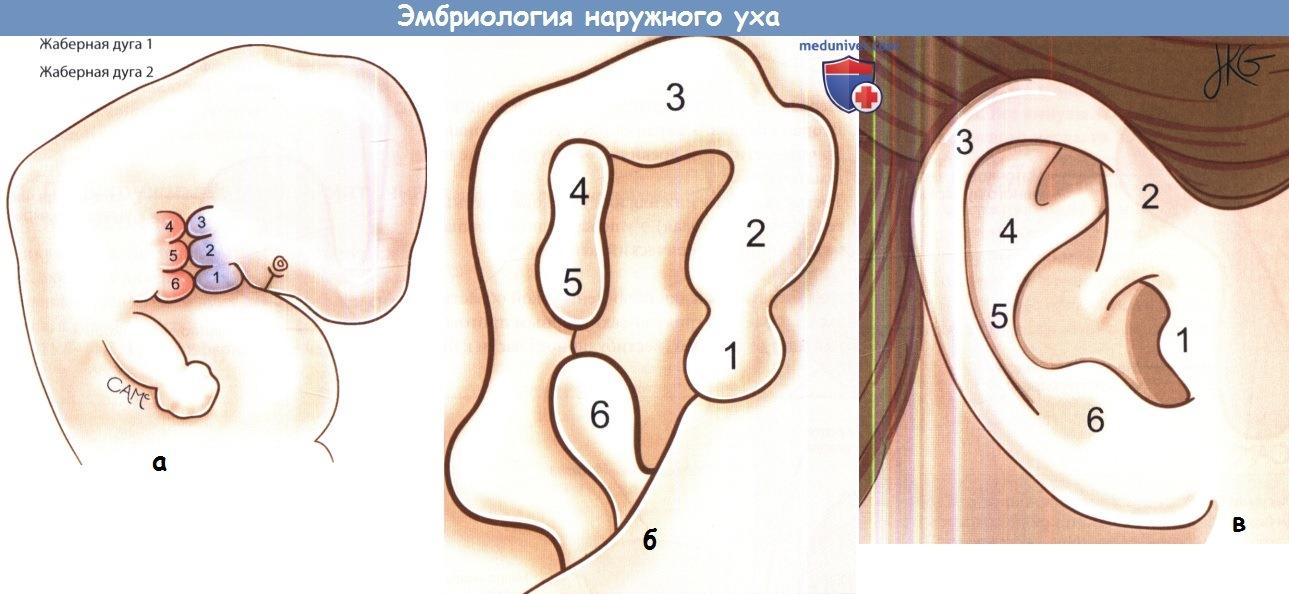 Эмбриология наружного уха