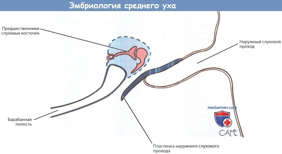 Эмбриология среднего уха