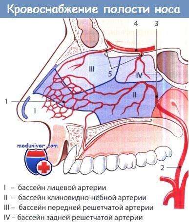 Кровоснабжение полости носа