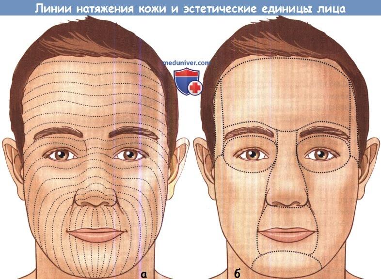 Линии натяжения кожи и эстетические единицы лица