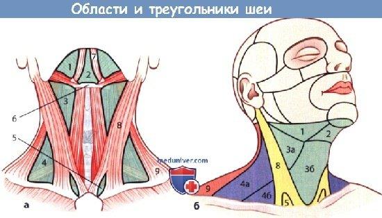 Области и треугольники шеи