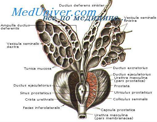 Узи простаты Структурные изменения предстательной железы периурентально