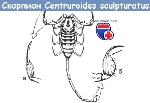 Строение скорпиона