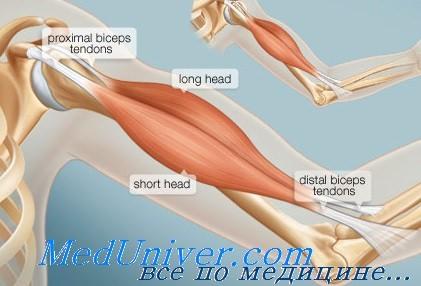 Растяжение или тендовагинит двуглавой мышцы плеча. Диагностика и ...