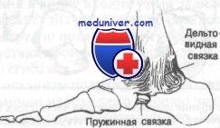 Изображение - Связки и сухожилия голеностопного сустава 434