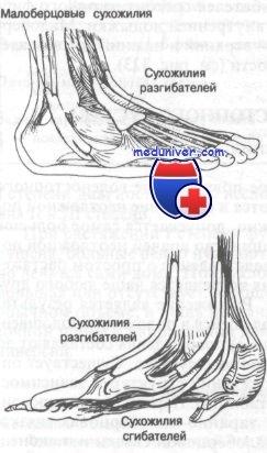 Изображение - Связки и сухожилия голеностопного сустава 435