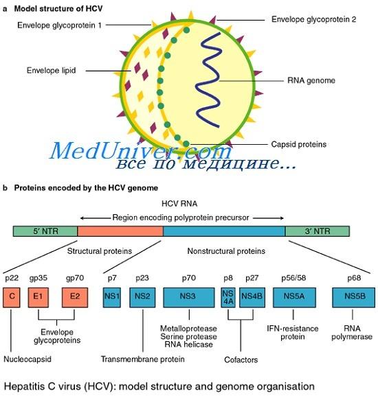 Вирус гепатита С и его геном